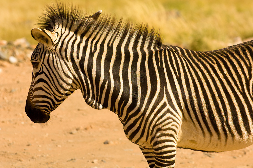 Mountain zebra, Rostock Ritz Desert Lodge, Solitaire, Namib Desert, Namib-Naukluft National Park, Namibia