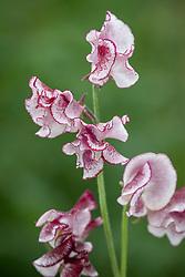 Lathyrus odoratus 'Lisa Marie' - Gary please check