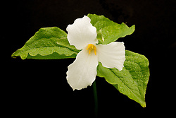 A white Trillium in spring rain signals Spring is here.