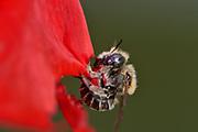 The poppy bee (Osmia papaveris or Hoplitis papaveris) is a leaf-cutting bee that lines its cells with pieces of poppy petals. First, the female digs a nest in sandy soil. When the nest is large enough, the bee starts cutting small pieces from petals of the common poppy (Papaver rhoeas) with its mandibles and presses them into a tiny package which is then carried to the nest. The package is unfolded again in the brood chamber to serve as a lining. Bamberg, Germany  | Mohnbiene, Mohn-Mauerbiene (Osmia papaveris) schneidet aus den Blütenblättern des Klatsch-Mohn (Papaver rhoeas) kleine Stückchen. Drückt diese zu einem Päckchen und fliegt sie zu ihrem Nest im Sandboden. Dort kleidet die Biene die Brutzelle mit den wieder entfalteten Blütenblattstücken aus. Die Mohnbiene ist auch unter den Synonymen Apis papaveris und Hoplitis papaveris bekannt. Landkreis Bamberg, Deutschland