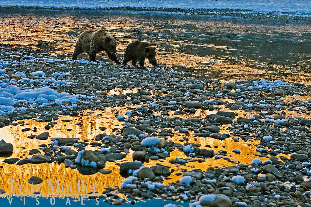 Grizzly bears feeding on chum salmon, Fishing Branch River, North Yukon