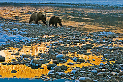 Grizzly bears feeding on chum salmon, Fishing Branch River, North Yukon