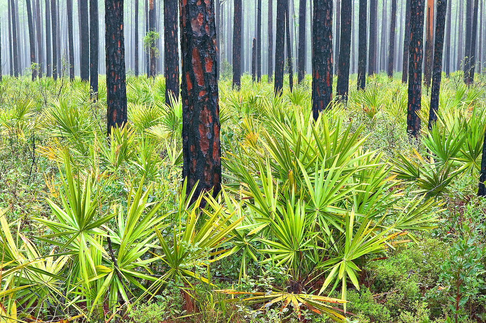 Mist and Rain in Palmetto and Ponderosa Pine Forest, Ocala National Forest, Florida