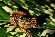 "Clown Treefrog (Hyla leucophyllata) ""variation 1"" - Amazonia, Peru"