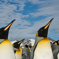 King Penguins in a huge rookery at Salisbury Plain, South Georgia, Antarctica.