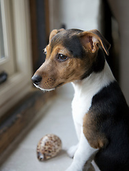 Jack Ruseell terrier puppy standing up by a window