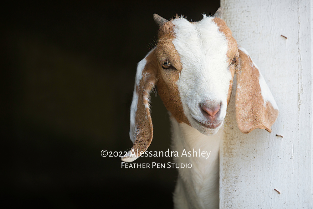 Goat kid peeking out from barn window on midwestern dairy farm. Willow Creek Press 2018 selection for Goats calendar.