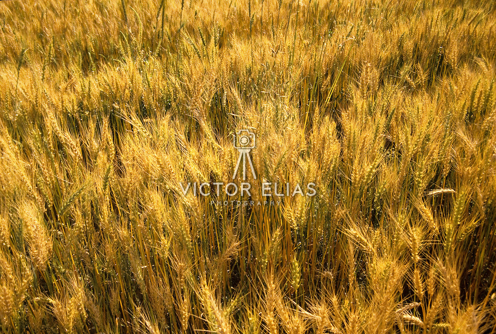 Wheat field at sunset. Mexico.
