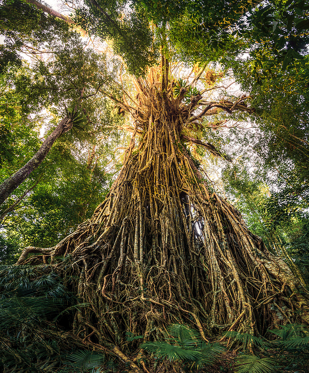 Cathedral Fig Tree in Atherton Tableland, Queensland