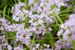 Allium unifolium AGM (American onion)