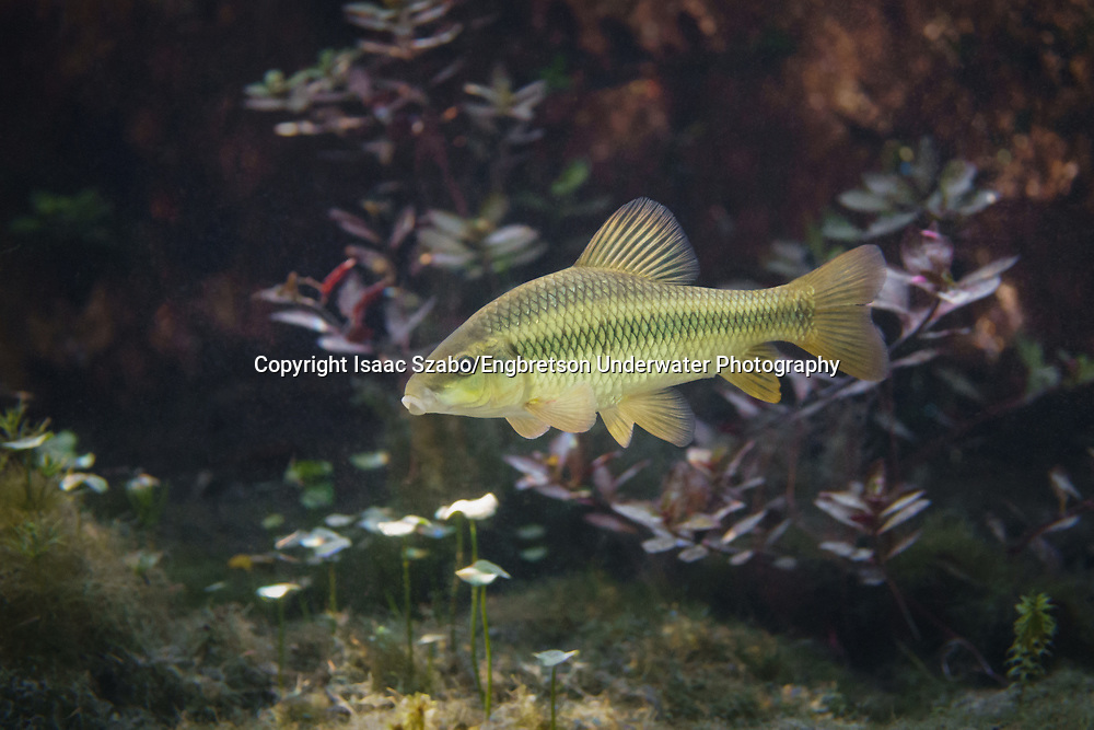 Lake Chubsucker<br /> <br /> Isaac Szabo/Engbretson Underwater Photography