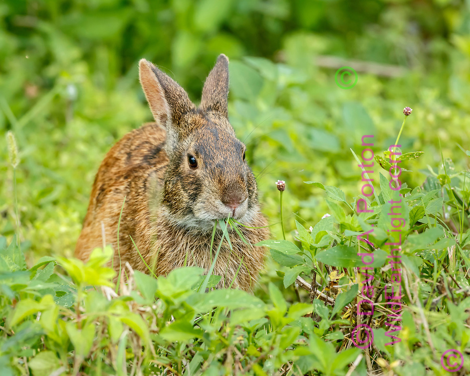 Marsh rabbit chewing grass blades, surrounded by lush green vegetation of a Florida wetland, © David A. Ponton