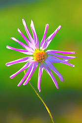A Yellow Centered Purple Starburst Flower Along The Road