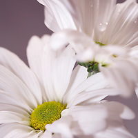 Two young daisy flowers with a few water drops. Lavender background.