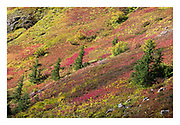 colourful hillside in autumn with red leaves of blueberry and huckleberry
