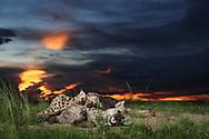 Hyänen in der Abenddämmerung zur Blauen Stunde im westen Sambias im Liuwa Plain Nationalpark.