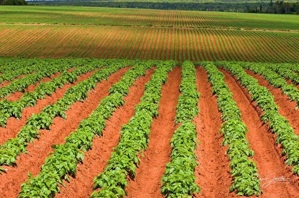 Potato fields, Chepston, PE/PEI, Canada