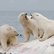 A mother polar bear and her two older cubs squabble as they feed on the carcass of a fin whale. Svalbard, Norway