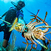Commercial fisherman Andres Maldonado catches a Caribbean spiny lobster off Cabo Rojo, Puerto Rico. He noticed drastic and obvious declines in fish numbers and habitat availbale after Hurricane Maria in 2017 which put many other commercial fisherman out of business. Image release available.