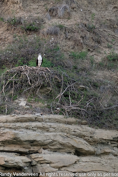 Photo Randy Vanderveen<br /> 2019-05-30,<br /> St. Mary Reservoir Provincial Recreation Area, Alberta<br /> An osprey nonchalantly watches fish jump in the water near the St. Mary Lower Campground southwest of Lethbridge.  A dead end loop of the St Mary River in the lower campground provides plenty of wildlife habitat for campers and day use patrons to see.