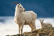 Dall sheep ( Ovis dalli )