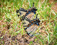 Pair of Yellow Swallowtail Butterflies Near the Pond at Sourland Mountain Preserve in New Jersey. Image taken with a Nikon D4 and 80-400 mm VRII lens (ISO 180, 400 mm, f/5.6, 1/400 sec).