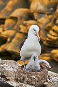 A Black-browed Albatross (Diomedea melanophris) chick stretches on a nest whilst its parent stands over it, North Nature Reserve, New Island, Falkland Islands.