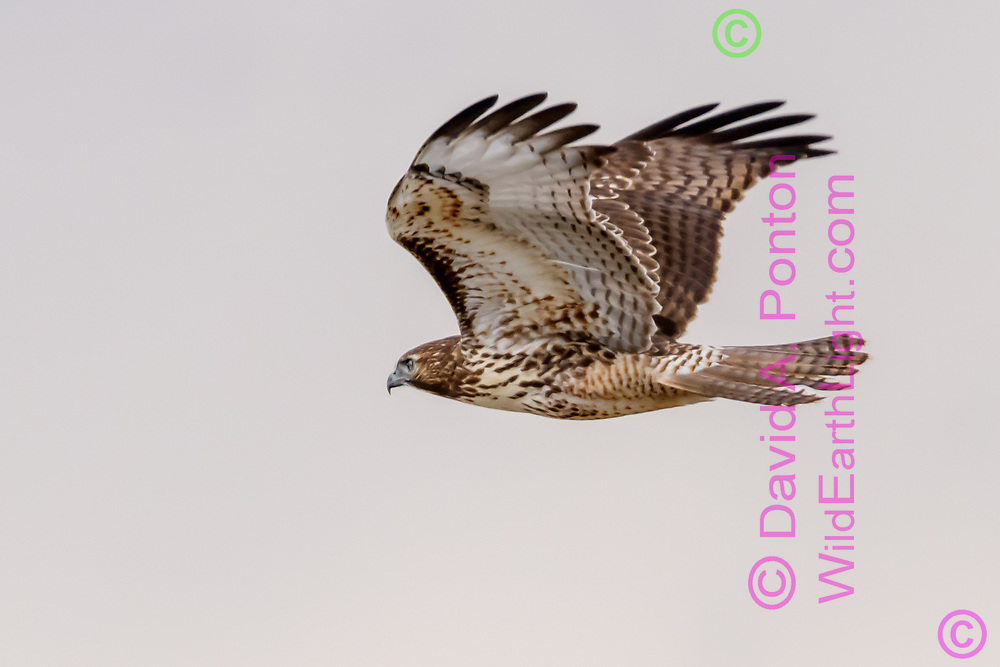 Juvenile red-tailed hawk in level flight, © David A. Ponton [Prints to 8x12, 16x24, 24x36 or 40x60 in. with no cropping]