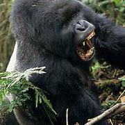 Mountain Gorilla, (Gorilla gorilla beringei) Male silverback in threat display.Volcanoes National Park . Rwanda. Africa.