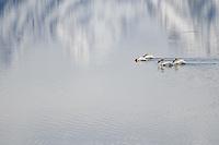 Pelicans on Jackson Lake