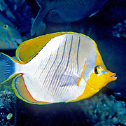 Yellowhead Butterflyfish inhabit reefs. Picture taken Maldives. Range East Africa to Maldives.