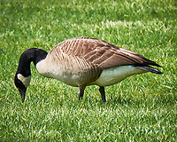Canada Goose. Image taken with a Fuji X-T1 camera and 100-400 mm OIS lens.