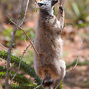 Ring-tailed lemur feeding on the leaves of a small tree. Berenty Reserve, Madagascar
