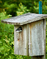 Tree Swallow at the Sourland Mountain Preserve. Image taken with a Nikon N1V1 camera and 85 mm f/1.4 lens.