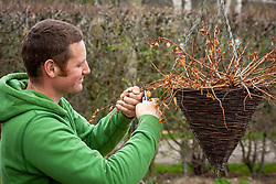 Pruning an overwintered fuchsia in a hanging basket in early spring
