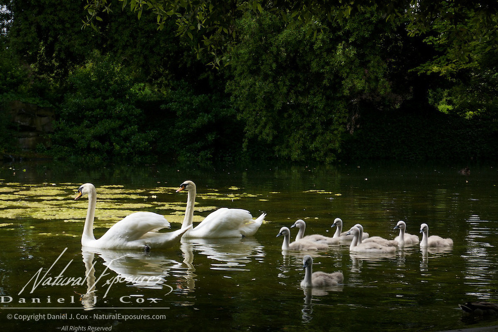 A family of mute swans in the waters of Saint Stephan's Green Park, Dublin, Ireland.