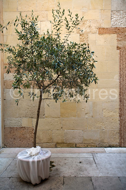 A olive tree in the courtyard of the Duomo, Verona, Italy