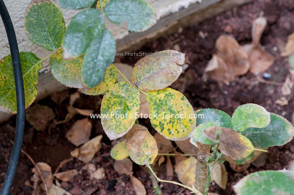 Rose Rust fungus on a leaf. This disease is caused by the rust fungus Phragmidium sp.