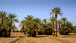 Palm trees growing near the Kasbah Ramala, southern Morocco<br /> <br /> (c) Andrew Wilson | Edinburgh Elite media
