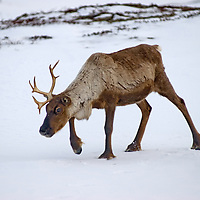 North of the Arctic Circle in Russia, a domesticated reindeer walks through snow on the tundra.  This animal has recently dropped one antler and the next will fall shortly - an annual occurence.