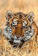 Siberian tiger cub(c/c)
