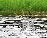 Neotropic Cormorant (Phalacrocorax brasilianus). Semester at Sea Field Trip. Limon, Costa Rica. Image taken with a Nikon D3s camera and 70-300 mm VR lens
