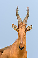 Long face of a male Jackson's hartebeest (Alcelaphus buselaphus lelwel), Murchison Falls National Park, Uganda
