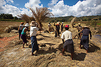 """Rice harvest in Shan State, Myanmar.<br /> Available as Fine Art Print in the following sizes:<br /> 08""""x12""""US$   100.00<br /> 10""""x15""""US$ 150.00<br /> 12""""x18""""US$ 200.00<br /> 16""""x24""""US$ 300.00<br /> 20""""x30""""US$ 500.00"""