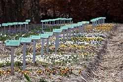Beds of Crocus chrysanthus at Hortus Bulborum, Limmen, Holland
