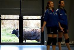 17-03-2013 VOLLEYBAL: EK KWALIFICATIE NEDERLAND - SLOWAKIJE: AMSTELVEEN<br /> Het Nederlands politieteam plaatst zich voor het EK door Slowakije met 3-0 te verslaan / Volleyballen met schapen langs de ramen<br /> ©2013-FotoHoogendoorn.nl
