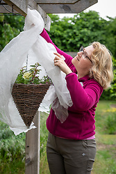 Protecting tender plants in a hanging basket from late frost by covering with horticultural fleece.