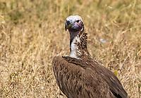 Lappet-faced Vulture, Torgos tracheliotus, at a cheetah kill in Serengeti National Park, Tanzania