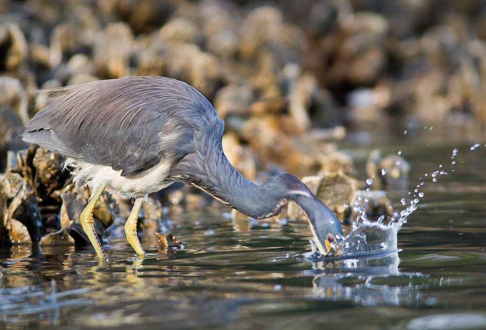 A tricolored heron plunges its beak after a fish or shrimp hiding among oysters in the cold January waters of the May River. Photo by Greg Smith/imediasmith.com.