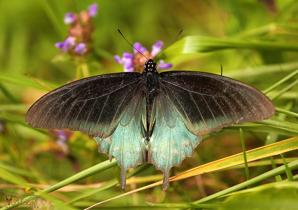Green Swallowtail with wings spread